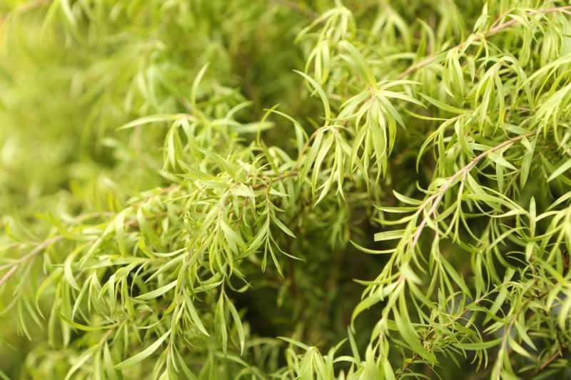 çay ağacını birçok alanda kullanabilirsiniz