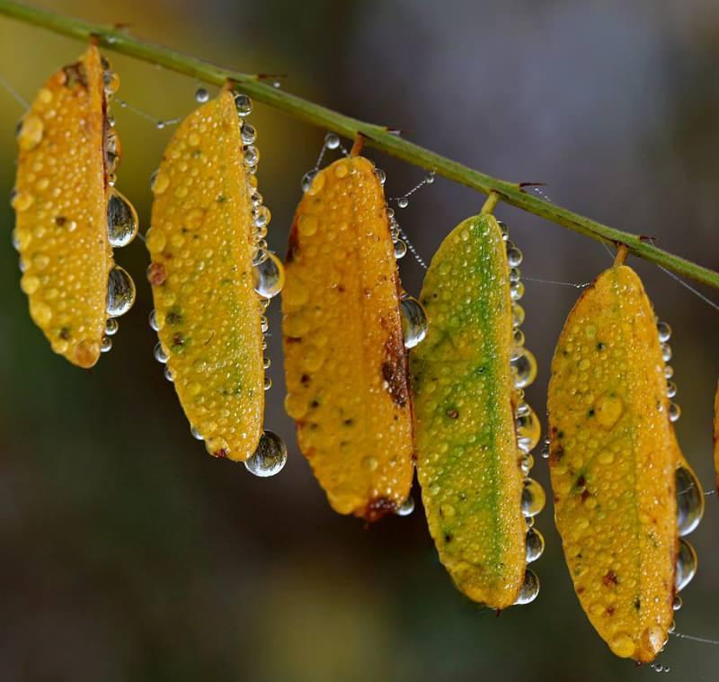 akasya yaprağı sindirim hastalıklarına iyi gelir