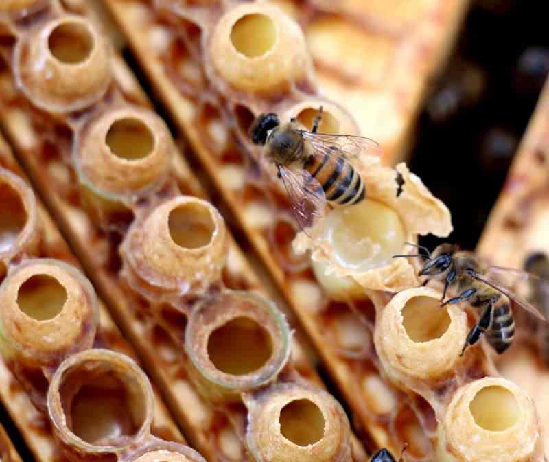 arı sütü doğa da en etkili vitamin ve mineral deposudur