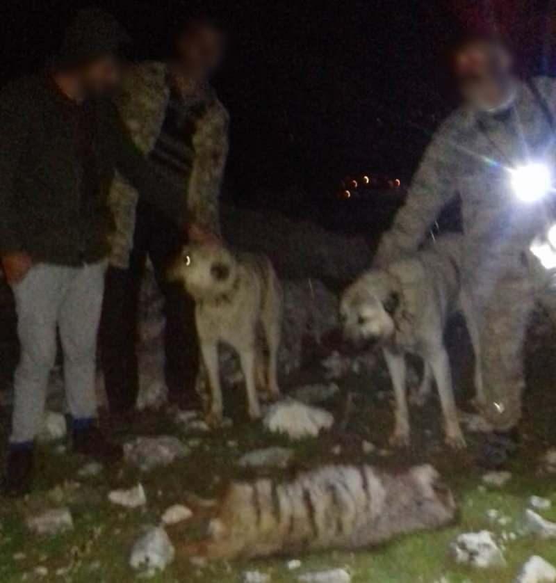 Nesli tükenme tehlikesinde olduğu için 'kırmızı listede'de yer alan çizgili sırtlana kimliği belirsiz 4 kişi, 2 köpeği saldırtmıştı!