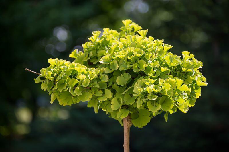 ginkgo biloba bitkisinin görüntüsü