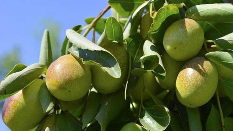 jojoba bitkisi sıkılarak yağ elde edilir