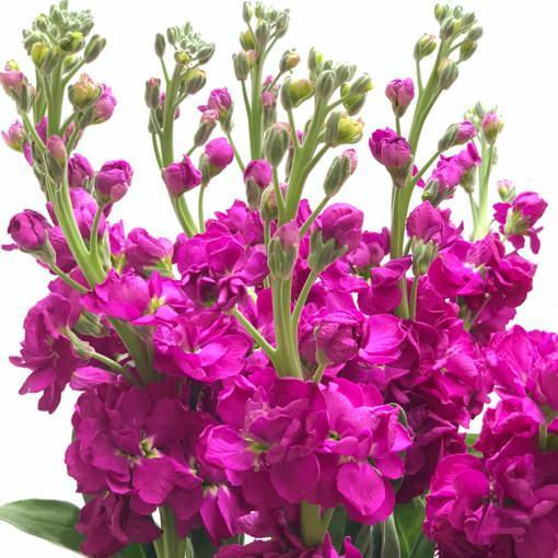 şebboy çiçeği hangi renklerde olur
