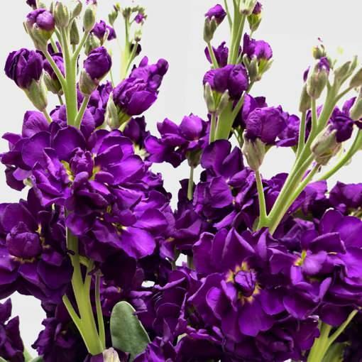 şebboy çiçeği evde nasıl yetiştirilir