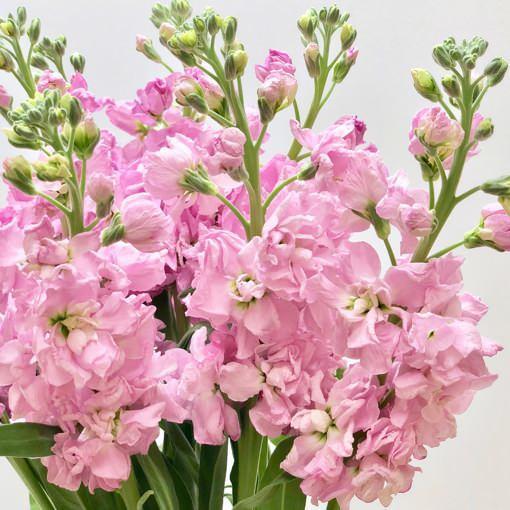 şebboy çiçeğinin özellikleri