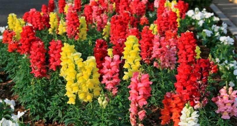 Şebboy çiçeği