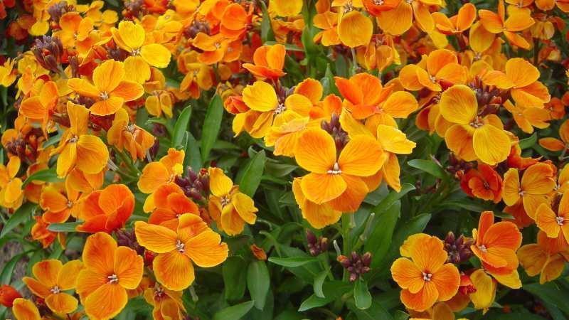şebboy çiçeği bakımı
