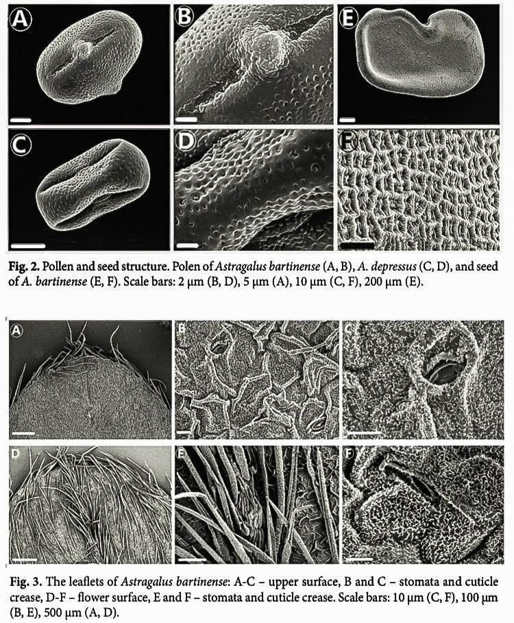 'Astragalus bartinense' (Bartın Geveni)