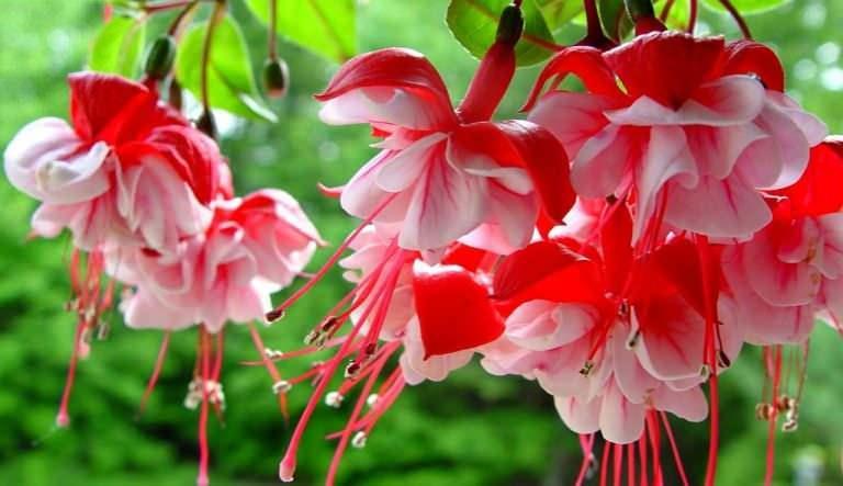 Küpe çiçeği bakımı nasıl yapılır
