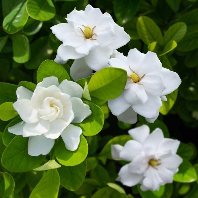 gardenyya çiçeği anlamı