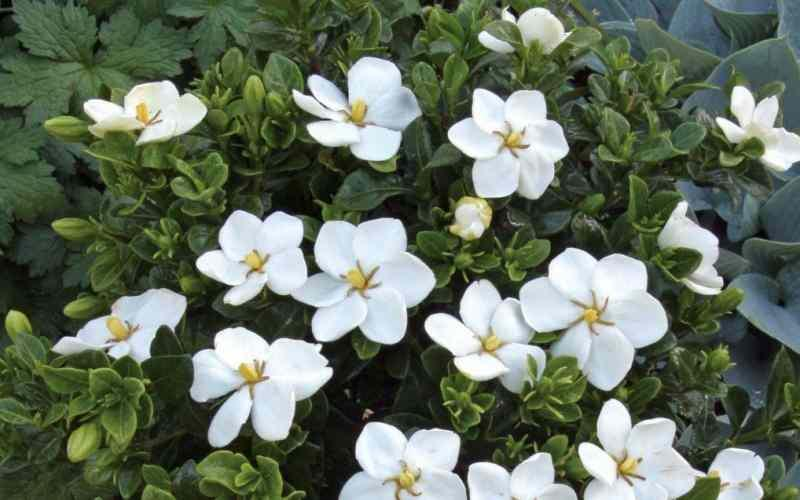 gardenya çiçeği faydaları