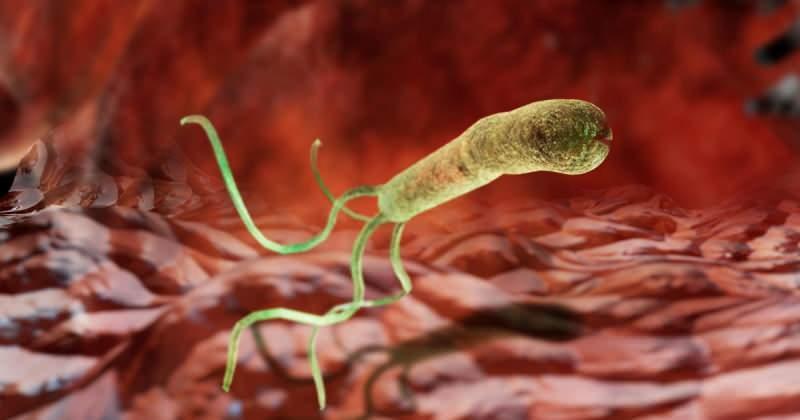 helikobakteri pylori mide zarına yapışır