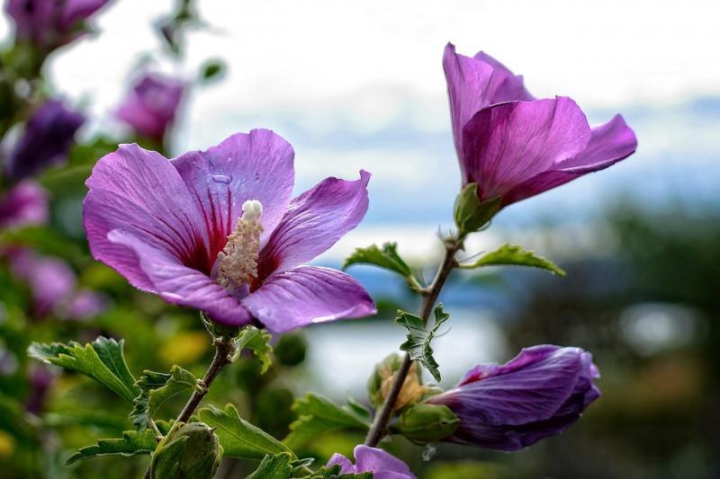 hatmi çiçeği aşırı tüketildiğinde böbrek fonksiyonlarını bozar