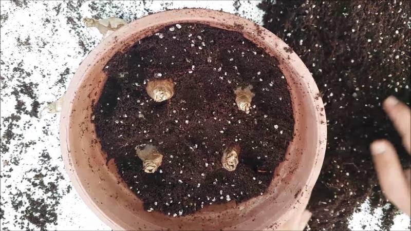 nergis çiçeği nasıl çoğaltılır