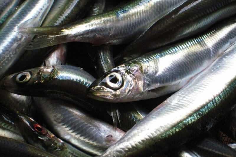 Sardalya balığının faydaları nedir? Sardalya ruhsal hastalıkların yaşanma riskini azaltır!