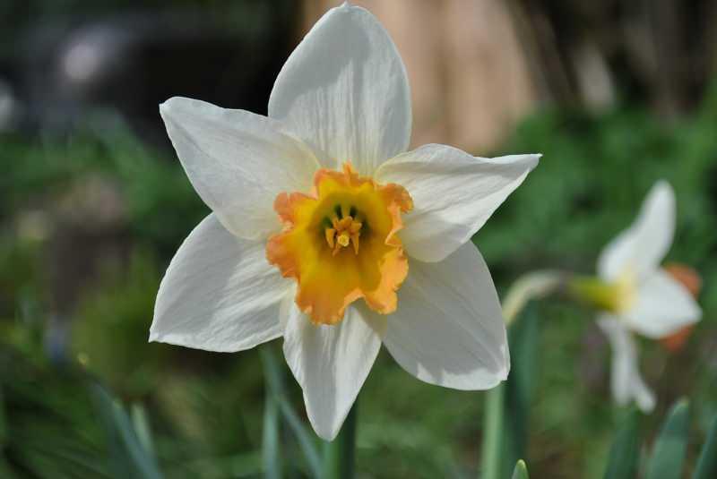 nergis çiçeği özellikleri nelerdir