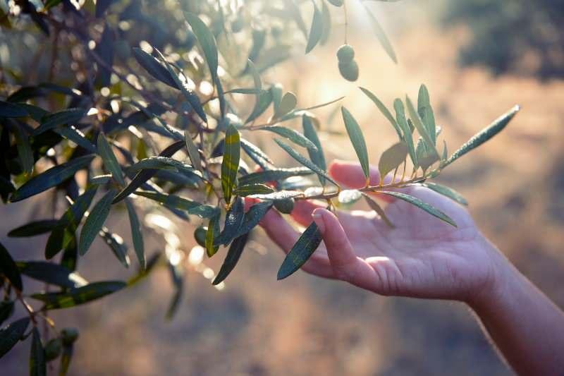 zeytin yaprağı güçlü bir antioksidandır