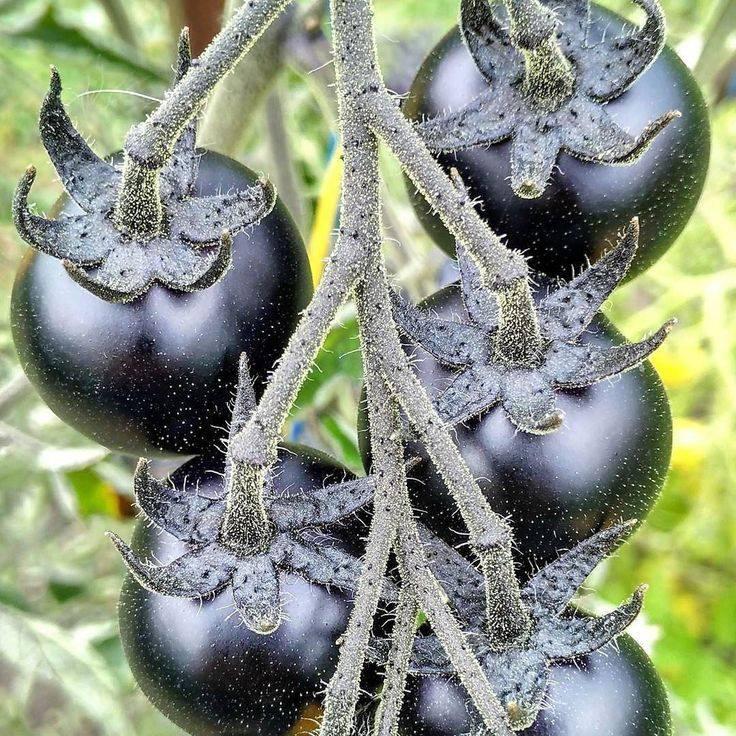 siyah domates tıpkı kırmızı domates gibi tüketilebilir