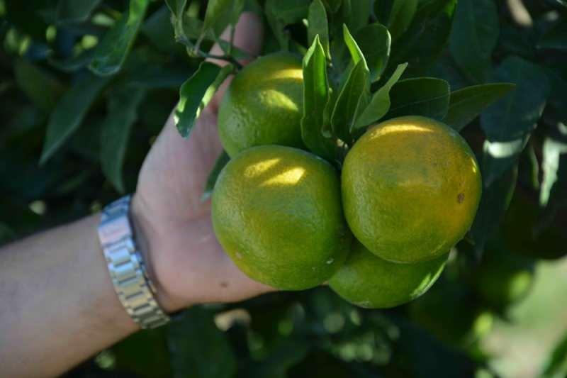 turuncu mandalinaya göre kabuğu daha ince ancak serttir.